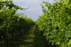 Land and grape varieties in Capriano del Colle